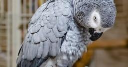 公务员鹦鹉因为骂脏话被开除,回家后竟学会用智能音箱购物
