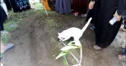 爱猫爷爷过世 猫咪送葬趴墓抱棺不肯离开