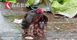 下雨也别怕!鸡妈妈用羽翼裹住宝宝自己却被淋得湿透