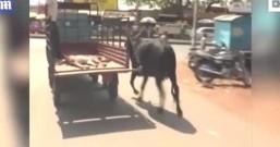 舐犊情深!母牛为守护受伤的小牛 跟着卡车一路跑到医院